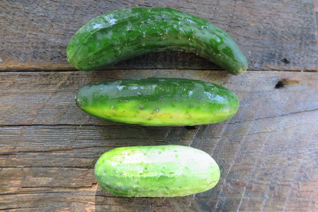 three pickling cucumbers